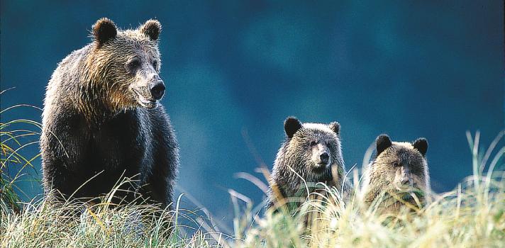 Bären in Kanada